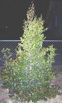 Australian Christmas Tree Pine.Christmas Trees Why Not Try An Australian Native Plant