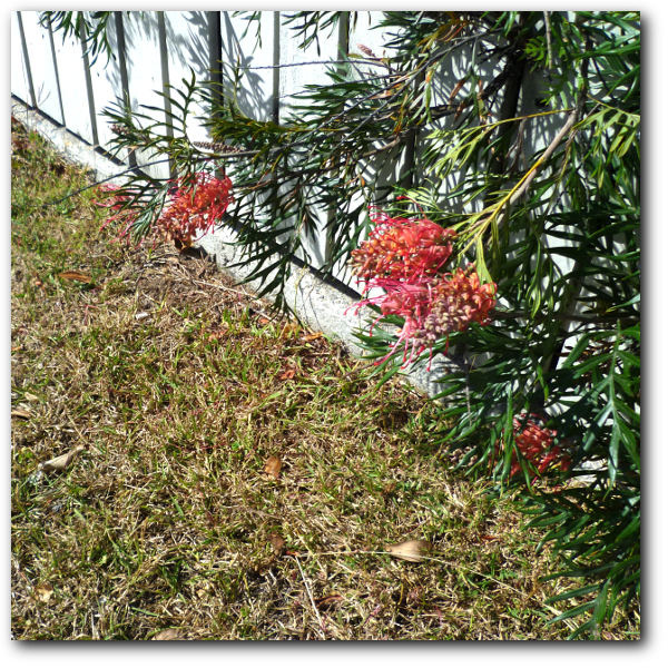 grevillea and grass