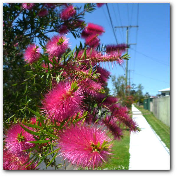 callistemon street tree