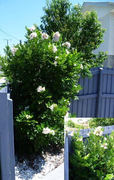 Radermachera Queensland Gardening Pages Brisbane Amp Qld