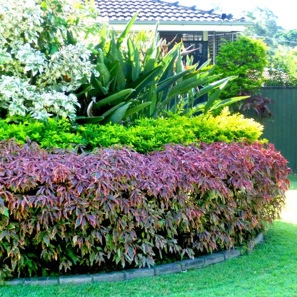 Acalypha Queensland Gardening Pages Plants Gardens Brisbane Qld