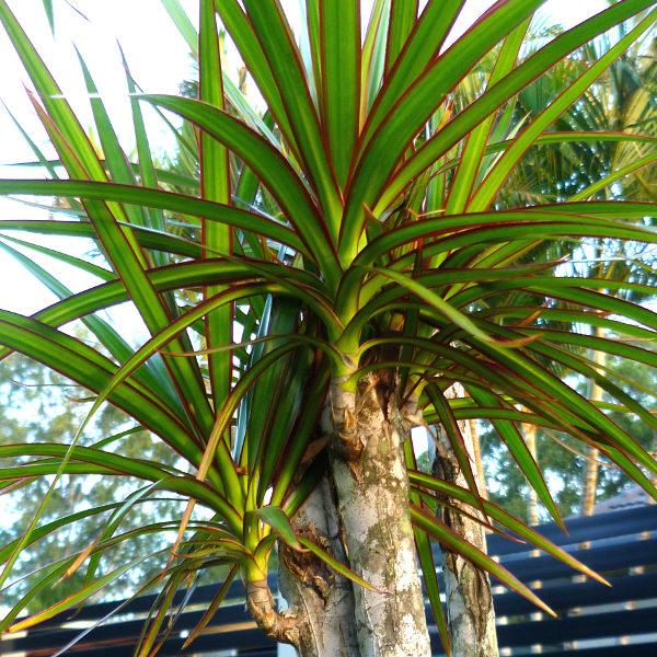 Dracaena - Queensland Gardening Pages (Plants & gardens in ...