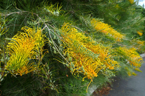 Grevilleas gardening with australian native plants grevillea cultivar probably golden lyre grevillea cultivar probably golden lyre mightylinksfo