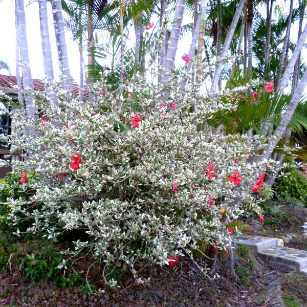 Hibiscus Malvaviscus Alyogyne Queensland Gardening Pages Plants