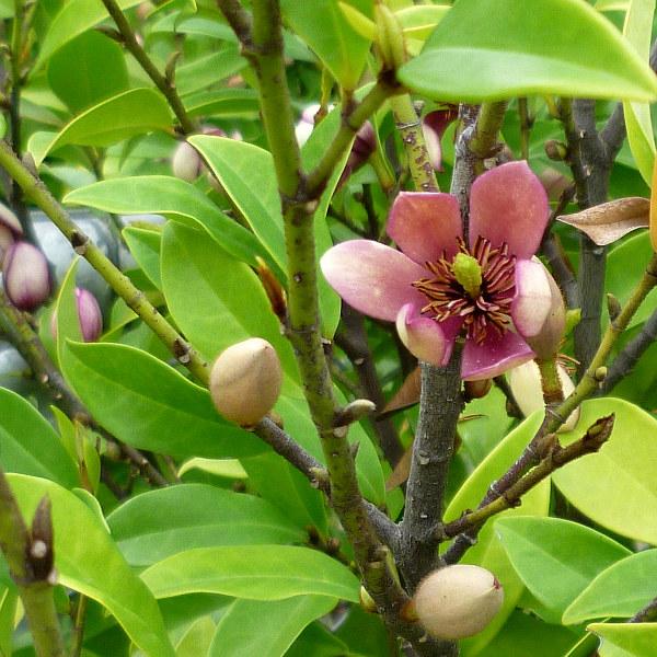 Port Wine Magnolia M Figo Michelia Figo Queensland Gardening