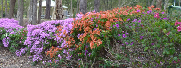 Bouganvillea cultivars are not uniform in growth