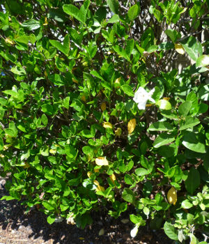 Gardenia as a hedge