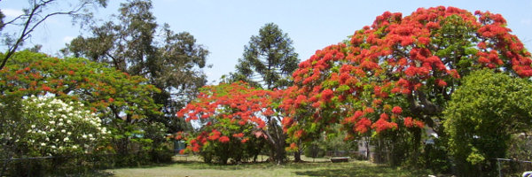 Poinciana trees
